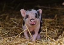 cuanto cuesta un mini pig